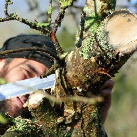 La taille des pommiers continue le 3 mars